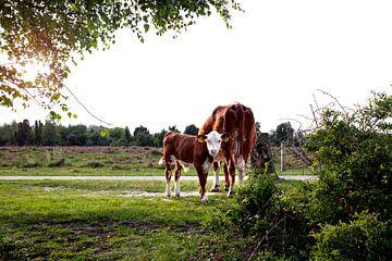 Hereford-Kühe - Mutter und Kalb von Jaleesa Koelen