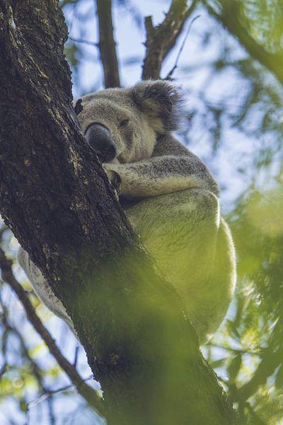 Schlafender Koala von Geke Woudstra