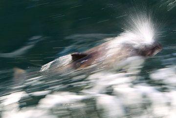 Bruinvis in Zeeland van