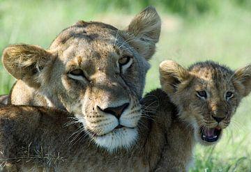 Lionne avec son petit. L'amour maternel.