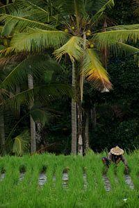 Aan het werk in de rijstvelden van Bali van
