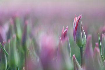 Tulpenvelden. Zij aan zij. van