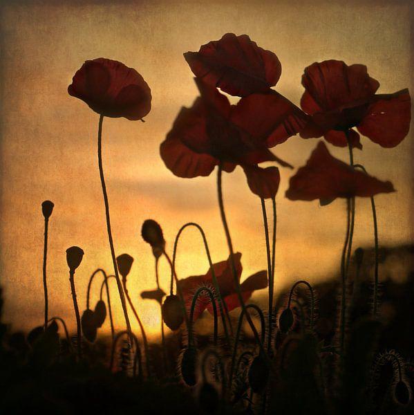 sunset poppies van bob van den berg