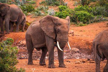 olifant in zuid afrika van Niels Aben