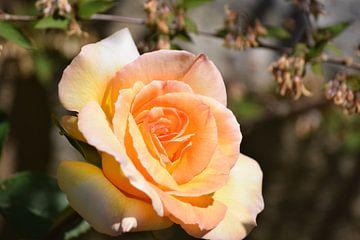 Oranje roos in een zonnige tuin van Nicolette Vermeulen