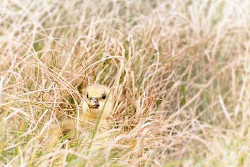 Poussin caché dans l'herbe sur Christa Thieme-Krus