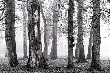 Berken in de mist sur
