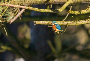 Kingfisher Amsterdam Wasserversorgung Dünen von Merijn Loch