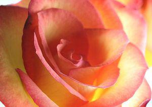 Rose makro