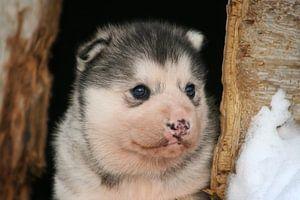 Baby Husky van