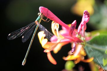 Libelle op kamperfoelie van Rob van Hilten