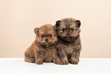 Twee schattig pomeriaan pups samen van Elles Rijsdijk