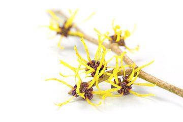 Branche fleurie d'une hamamélis, plante médicinale Hamamelis, isolée avec l'ombre sur un fond blanc,