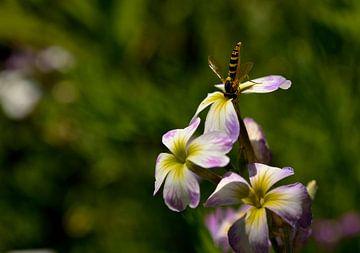 Lente, zweefvlieg op bloem van Leo Langen