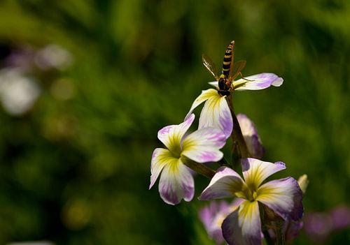 Lente, zweefvlieg op bloem van