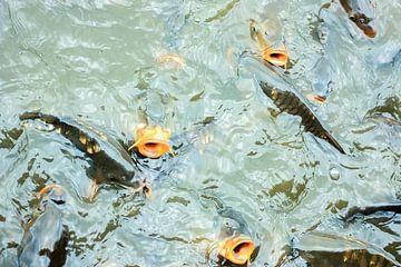 Fischig von Qeimoy