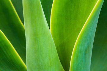 Detail einer grünen Pflanze auf der Insel Madeira von Rico Ködder