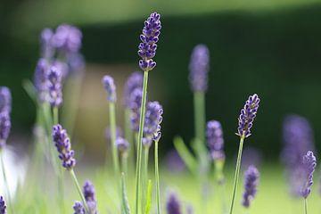 Violetter Lavendel von Bärbel Severens