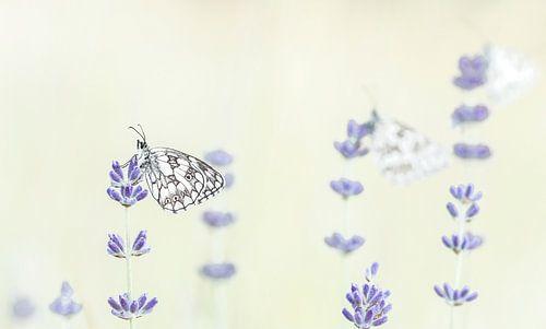Wakker worden bij de dambordjes in de lavendel van