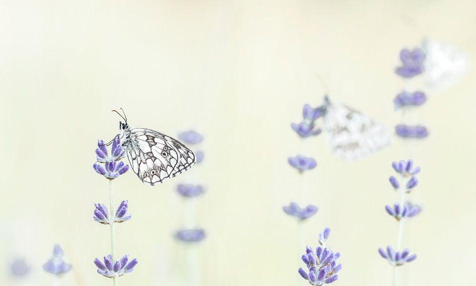 Wakker worden bij de dambordjes in de lavendel