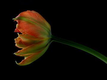 Tulpe auf Schwarz von Carine Belzon