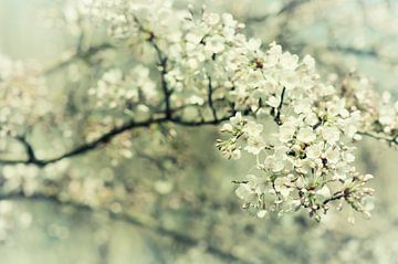 Sakura (witte bloesem) van Paula van den Akker