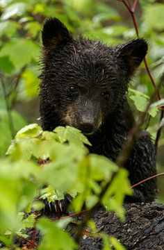 Kleine zwarte beer van