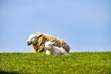 Schafe von Hermineke Pijls