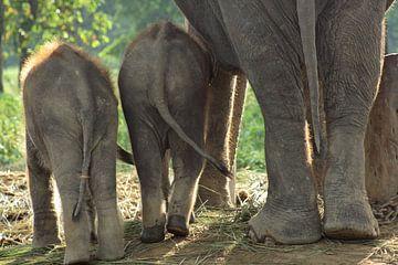 Olifanten in Nepal sur