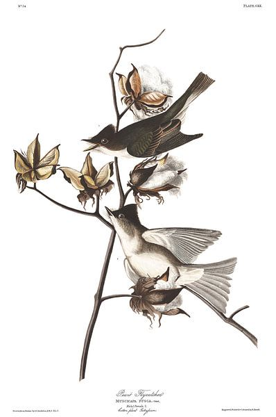 Moucherolle Phébi sur Birds of America