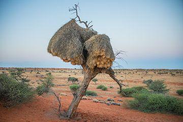 Vogelnester auf Bäumen in der Kalahari-Wüste Namibia bei Dämmerung von