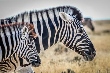 Beautiful Zebras on African plains sur Original Mostert Photography