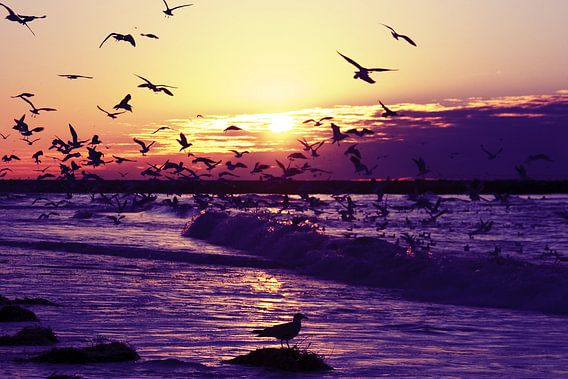 Honderden meeuwen bij de noordzee kust bij zonsondergang
