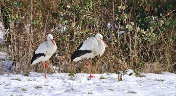 ooievaars in de sneeuw 1