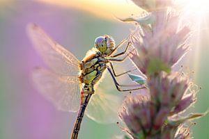 Bruinrode heidelibel ochtendlicht
