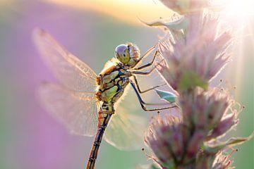 Bruinrode heidelibel ochtendlicht van