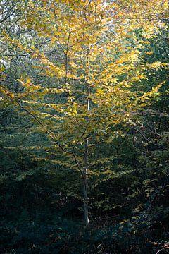 De Jonge Beukenboom van Antoine Ramakers