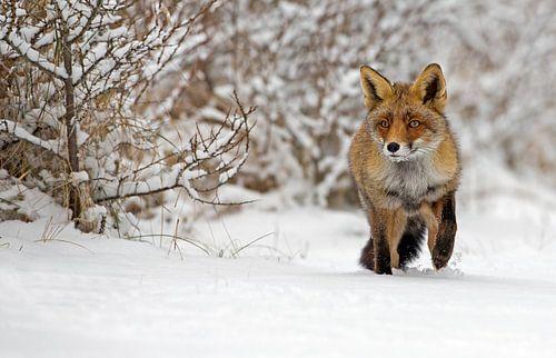Vos lopend door de sneeuw van