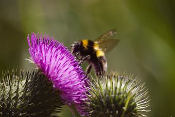 Une abeille assise sur une fleur de chardon violet sur Steven Marinus