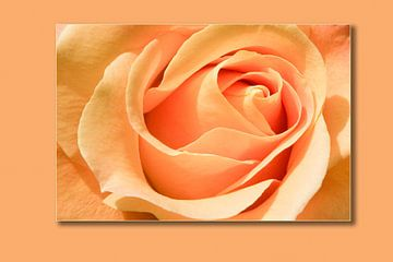 Rose Apricot van Markus Wegner
