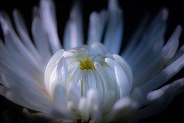 Weltkugel-Chrysantheme von Jefra Creations