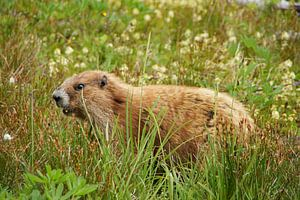 Marmot in de bergen van Olympic National Park