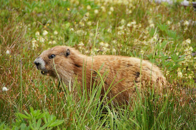 Marmot in de bergen van Olympic National Park van Jeroen van Deel