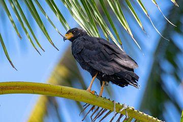Schwarzer Falke von Merijn Loch