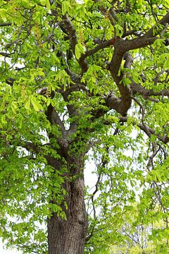 boomtop van een kastanjeboom van Karina Baumgart