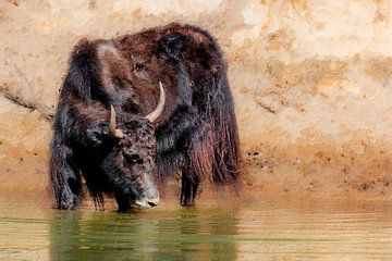 Ein Yak im Wasser (Kunst)