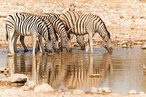 Zebra's aan het drinken van