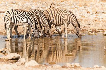 Zebra's aan het drinken von Simone Janssen
