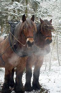 Werkpaarden in de sneeuw 5912003162 fotograaf Fred Roest van Fred Roest