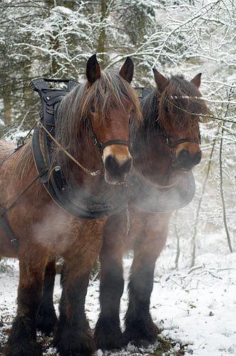 Werkpaarden in de sneeuw 5912003162 fotograaf Fred Roest